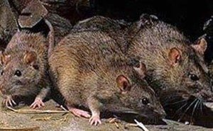 شركة مكافحة فئران بالرياض شركة مكافحة فئران بالرياض شركة مكافحة فئران بالرياض anti rat company