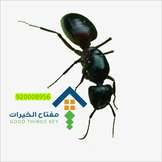 شركة مكافحة النمل الاسود الصغير